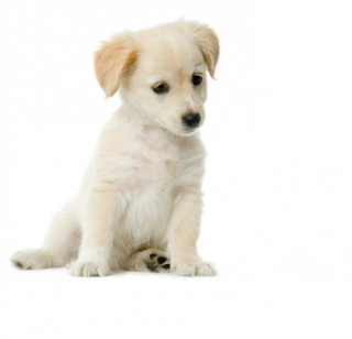 What Makes A Good Puppy Class? By Dr. Ian Dunbar