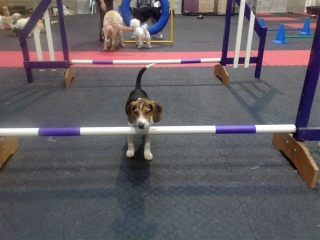 Little Max thinking about Agility.jpg