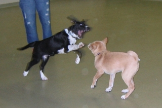 Pilot and Sasha playing a rousing game of bitey-face
