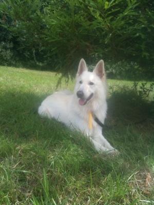 Not A Wolf, White German Shepherd