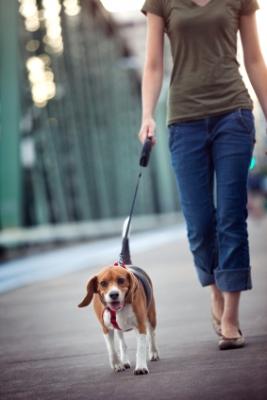 Beagle walking on leash