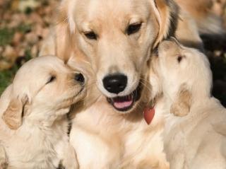 Golden Retriever and Puppies
