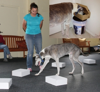 Greyhound participating in a Nose Work Class