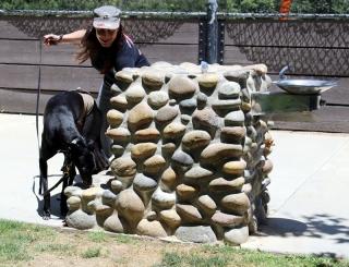 Black greyhound doing nose work at a park