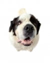 St Bernard big head.jpg