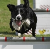 flyball dog leaping a hurdle karen wild