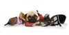 Pug with chewed shoes.
