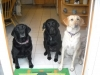 Teach wait to your dogs, a useful safety behavior