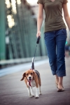 Beagle walking on leash