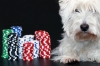 Westie with poker chips