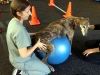 Greyhound dog stretching on a fit ball next to cavaletti poles