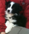 puppy training, Border Collie Guinness at 8 weeks.