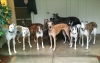 Retired Racing Greyhounds at the Homestretch Greyhound Rescue & Adoption facility, consider playing in the yard on a rainy day.