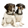 Jack Russell Terriers Sitting