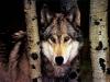 Wolf gazing between trees.