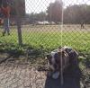 Mack enjoys an All American Pastime. Bully sticks and baseball!