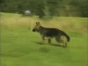 Embedded thumbnail for Off-Leash Walking - Training the Companion Dog 3 – Walking & Heeling