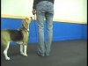 Embedded thumbnail for Beagle Learns to Swingback – SIRIUS Adult Dog Training