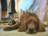 Embedded thumbnail for Good Dogs Have More Fun - Training the Companion Dog 3 – Walking & Heeling