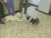 Embedded thumbnail for Reading Play Behavior 1 - Training the Companion Dog 1 – Socialization & Training