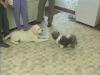 Embedded thumbnail for Reading Play Behavior 1 - Training the Companion Dog 1 – Socialization & Training