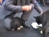 Embedded thumbnail for Strangers Grab Collars - SIRIUS Puppy Training Redux
