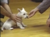 Embedded thumbnail for Luring a Little Dog - SIRIUS Puppy Training Classic