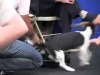 Embedded thumbnail for Follow & Sit, then Collar - SIRIUS Puppy Training Redux
