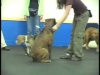 Embedded thumbnail for Sit During Play 4 Distance – SIRIUS Adult Dog Training