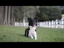 Embedded thumbnail for When the Border Collies Get Bored...